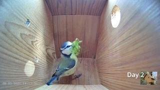 From empty nest to first egg in less than 8 minutes! - BlueTit nest box live camera highlights 2021